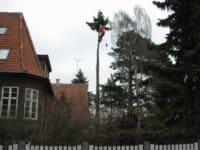 træklatrer i højt tyndt træ