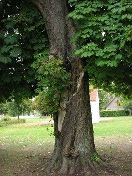 træskade i park