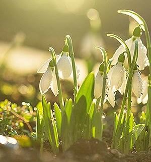 vintergækker i solen