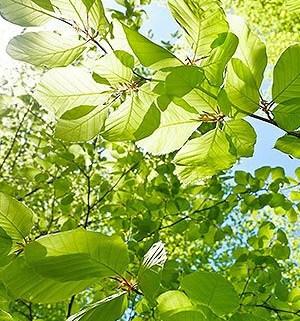 grønne grene