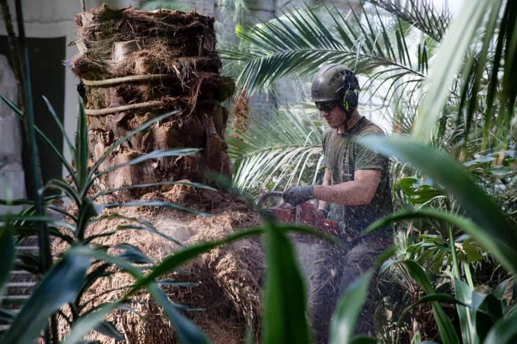 beskæring af palme glyptoteket