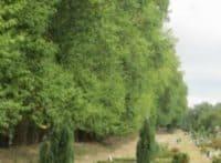 vestre kirkegård store træer