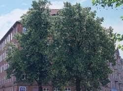 lindetræer før beskæring
