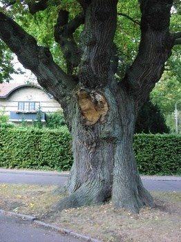 skade på stort træ